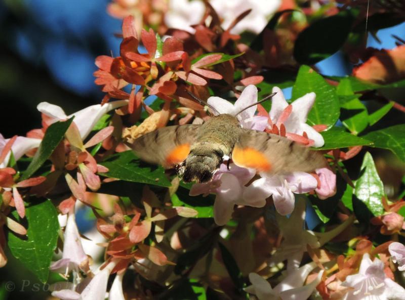 hummingbird hawkmoth,Macroglossum stellatarum