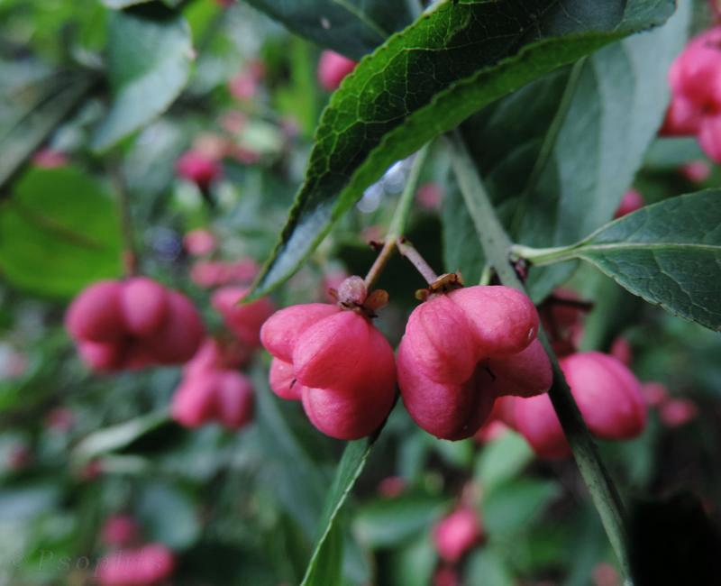 spindleberry,Euonymus europaeus