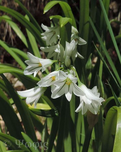Triquetrous Leek,Allium triquestrum