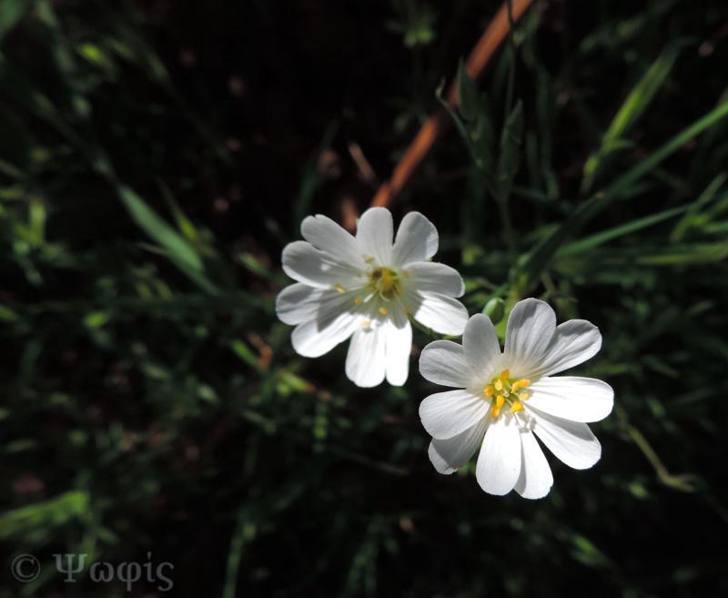 Greater Stitchwort,Stellaria holostea