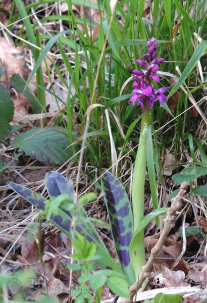 early purple orchids,Orchis mascula