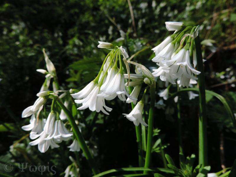 Allium triquetrum,Three-cornered leek