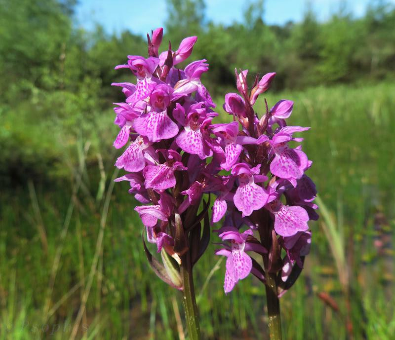 southern marsh orchid,orchid