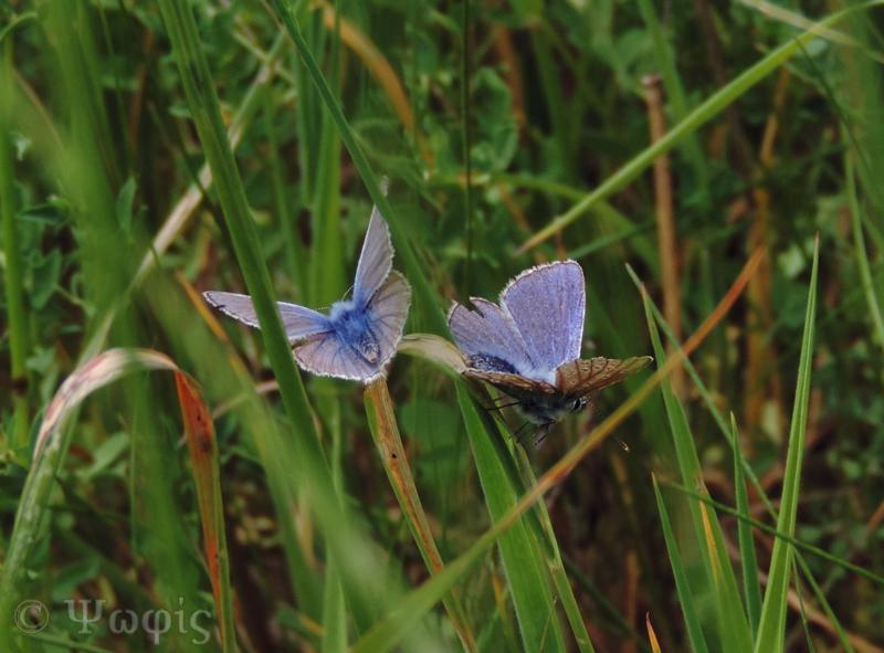 Common blue butterfly,butterfly