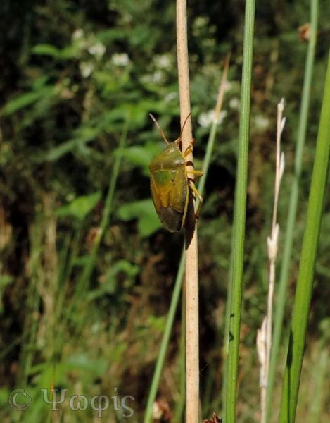 Gorse Shieldbug,Piezodorus lituratus