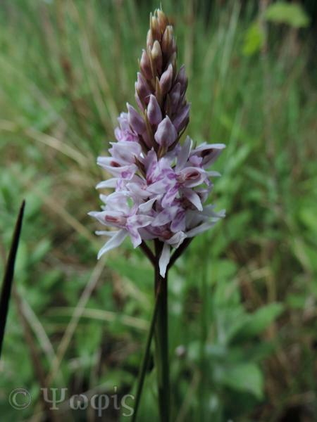 orchid,common spotted orchid,southern marsh orchid