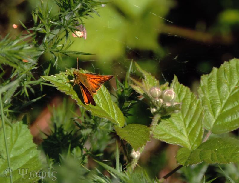 large skipper,butterfly