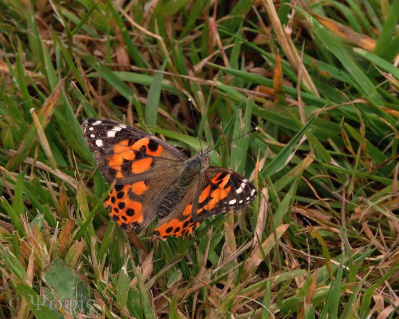 Painted lady,butterfly,Vanessa cardui