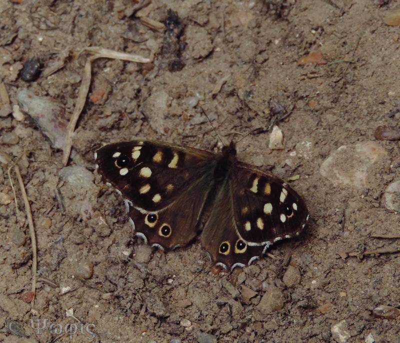 Speckled Wood butterfly,butterfly,Pararge aegeria