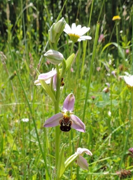 Bee orchid,Ophrys apifera
