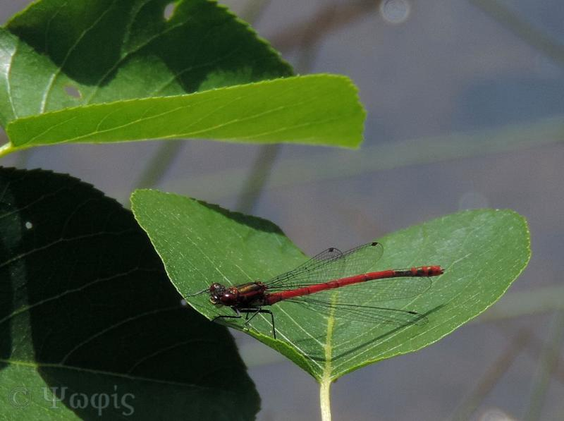 Small Red Damselfly,Ceriagrion tenellum