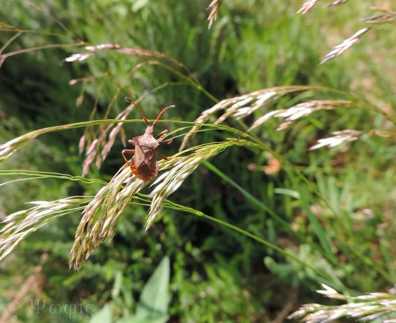 DOck bug,Squash bug,Coreus marginatus