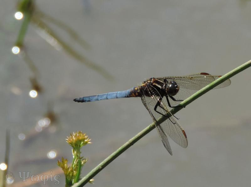 male Black-tailed Skimmer,Orthetrum cancellatum
