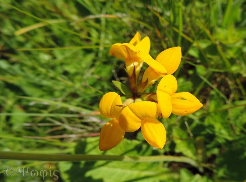 bird's foot trefoil,Lotus corniculatus