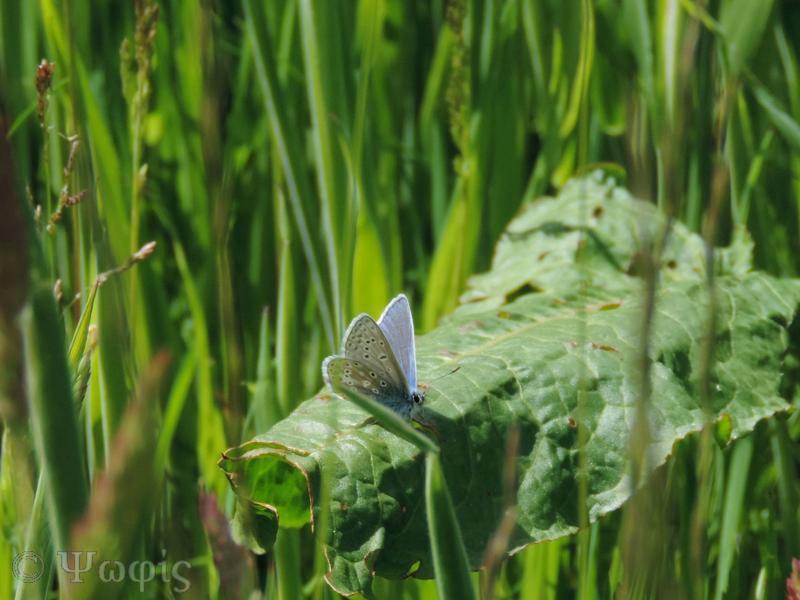 Common blue,Polyommatus icarus