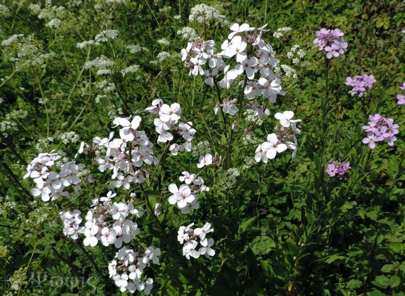 dame's violet,Hesperis matronalis