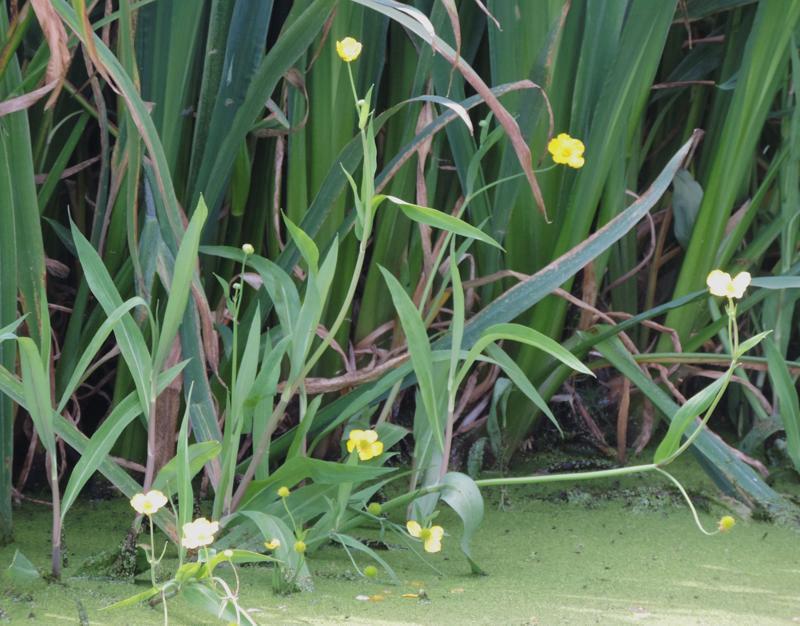 greater spearwort,Ranunculus lingua