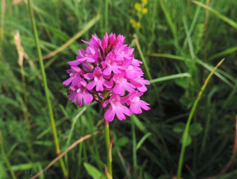 pyramidal orchid,Anacamptis pyramidalis