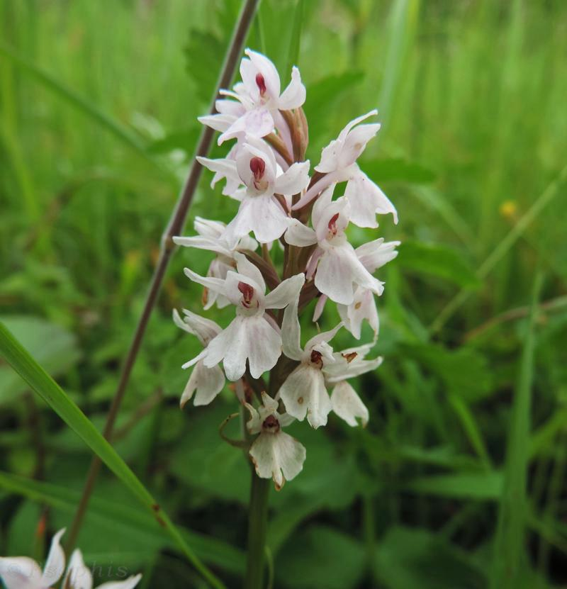 white common spotted orchid,Dactylorhiza fuchsii
