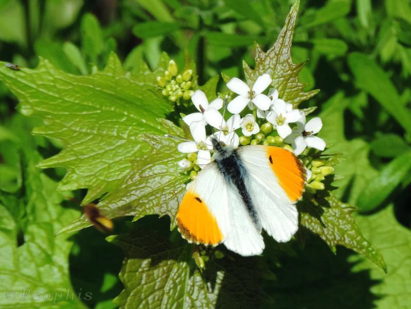 Orange tip,butterfly