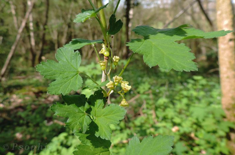 Redcurrants,Ribes rubrum