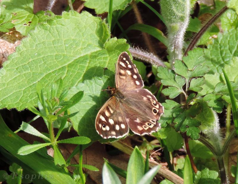 speckled wood,butterfly