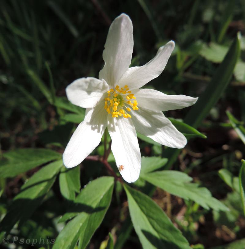 Wood Anemone,Anemone nemorosa