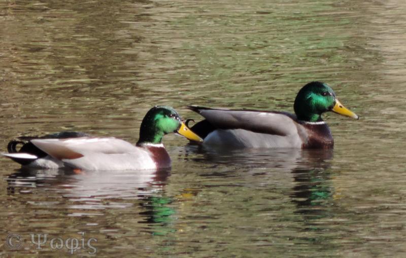 mallards,duck
