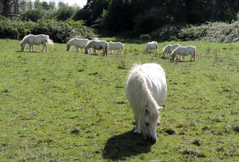 miniature horse,horse