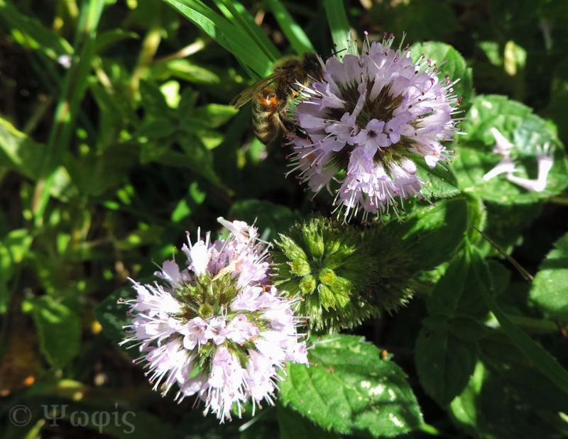 Water Mint,Mentha aquatica