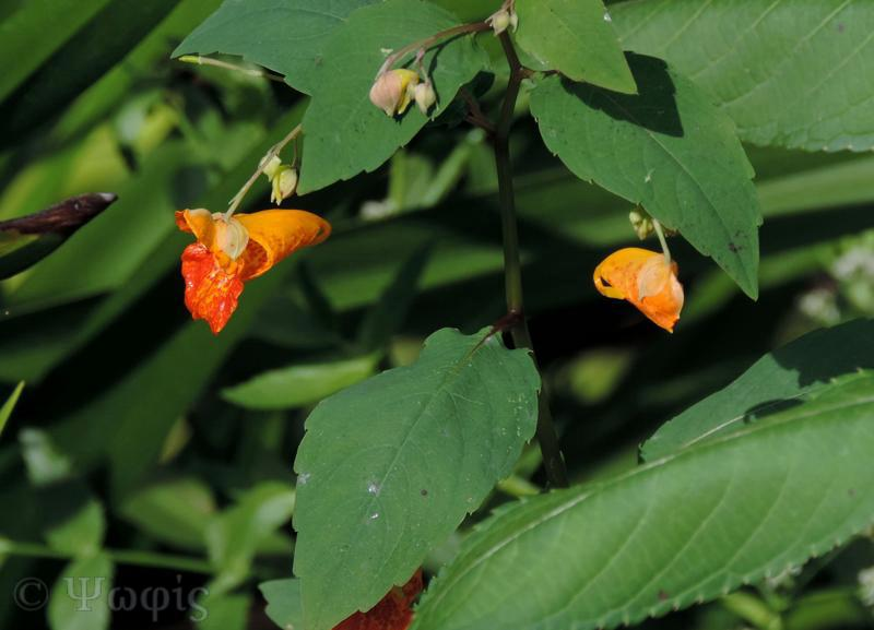 Orange Balsam,Impatiens capensis