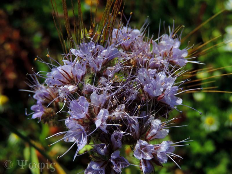 phacelia,Phacelia tanacetifolia