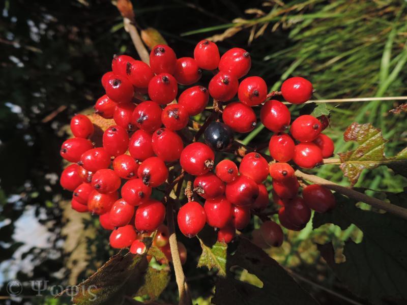 wayfaring tree,Viburnum lantana