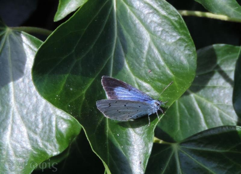holly blue,Celastrina argiolus