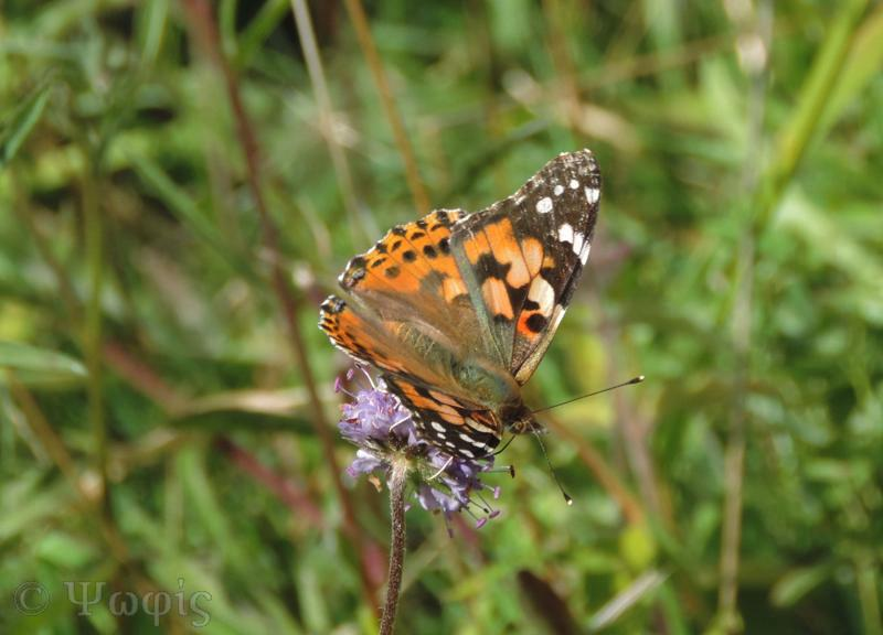 painted lady butterfly,devils bit scabious