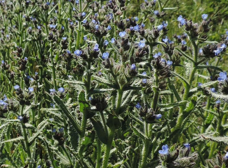 bugloss,Anchusa arensus