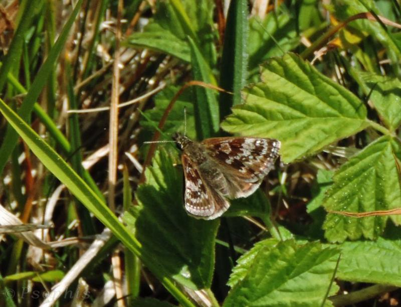 Dingy Skipper,Erynnis tages
