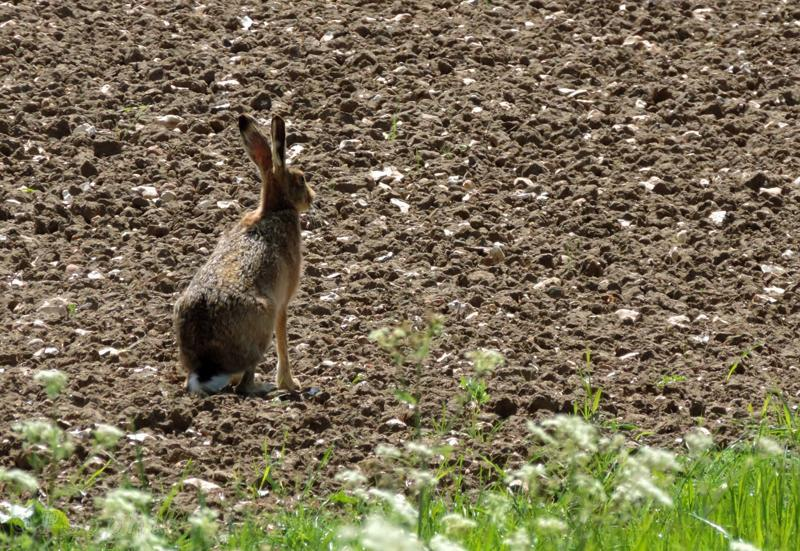 hare,Lepus europaeus