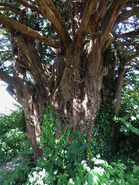 Britwell Salome,yew tree