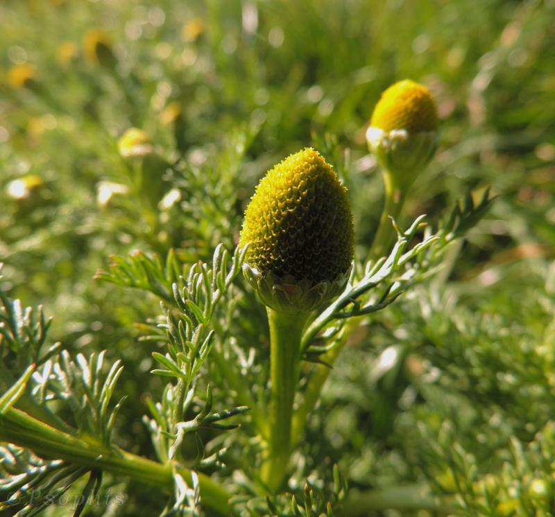 Pineapple-weed,Matricaria discoidea