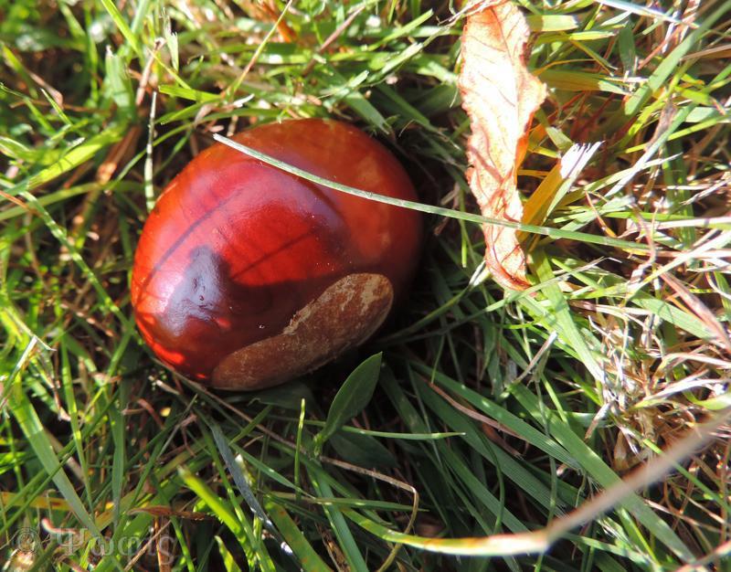 conker,horse chestnut