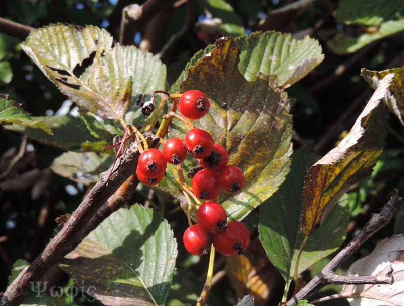 sorbus,fruit