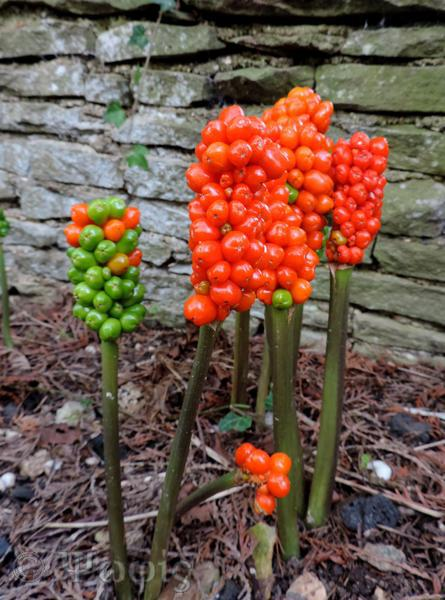 arum italicum pictum
