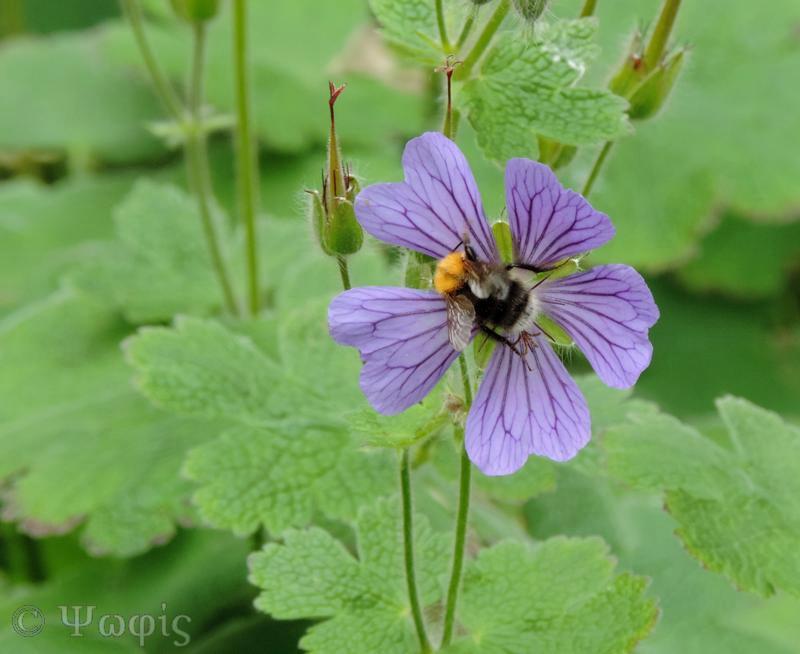 geranium,bee