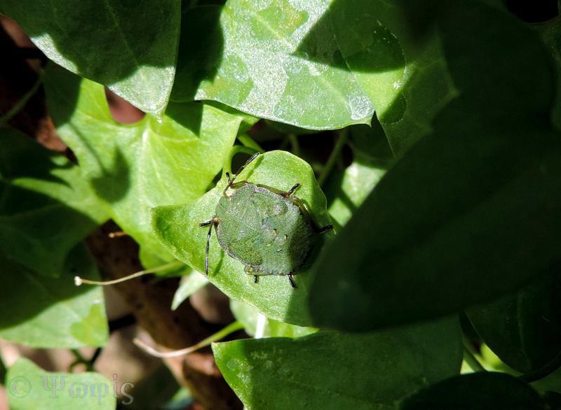 hawthorn shieldbug nymph,Acanthosoma haemorrhoidale
