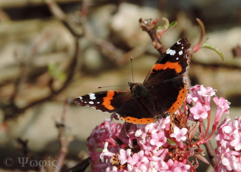 red admiral,butterfly