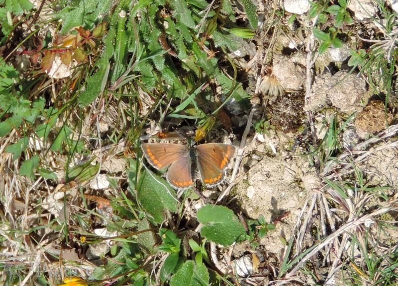 brown argus,butterfly,Aricia agestis