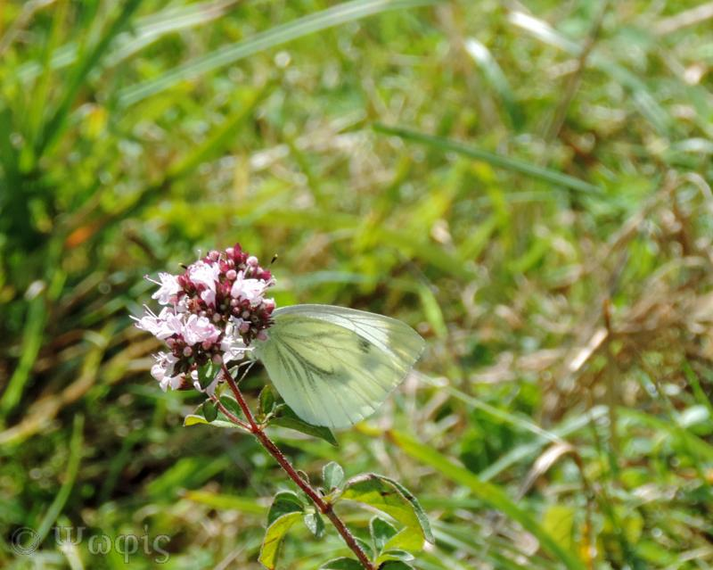 Green veined white,butterfly,Pieris napi