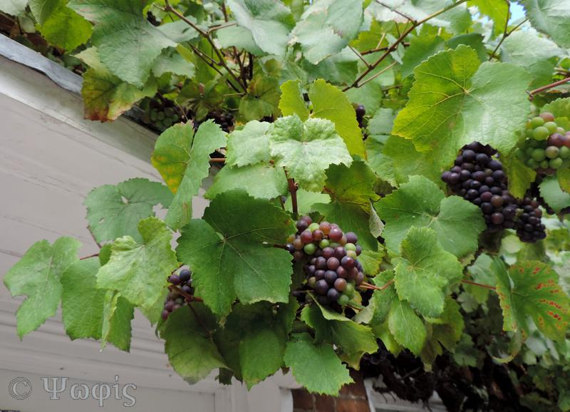 grapes,Streatley