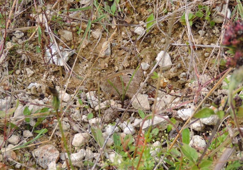 meadow brown,butterfly